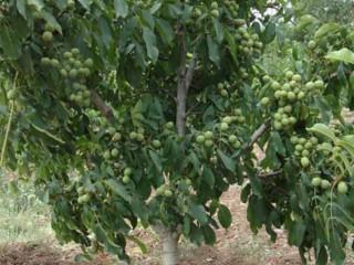 Sadnice kalemljenog oraha, dvogodisnje sadnice
