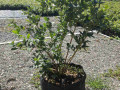 sadnice-americke-borovnice-lozni-kalemovi-vocne-sadnice-small-0