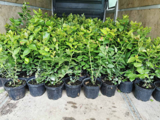 Sadnice americke borovnice,  lozni kalemovi, vocne sadnice
