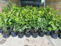 sadnice-borovnice-sertifikovane-dvogodisnje-i-trogodisnje-small-0