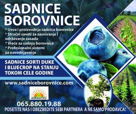 sadnice-borovnice-sertifikovane-dvogodisnje-i-trogodisnje-big-3