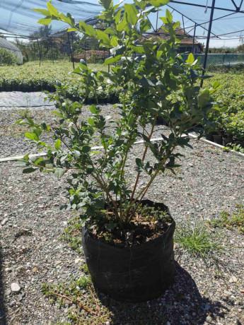 sadnice-borovnice-sertifikovane-dvogodisnje-i-trogodisnje-big-2