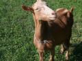 prodajem-dve-sjarne-koze-small-4