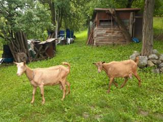 Prodajem dve sjarne koze