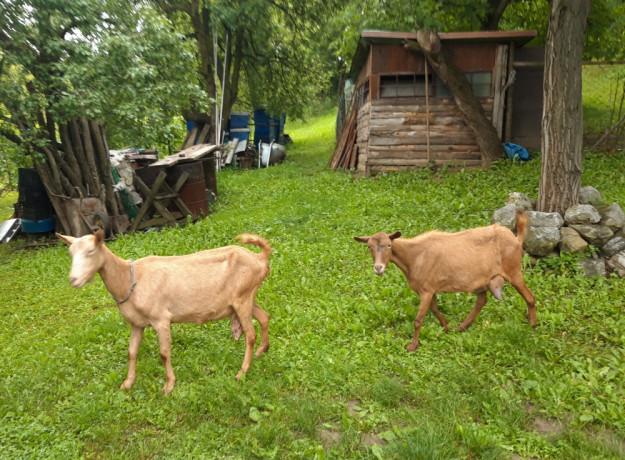 prodajem-dve-sjarne-koze-big-0
