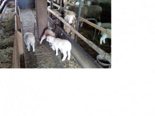 Prodajem stado od 16 ovaca