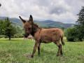 mlado-musko-magare-pule-na-prodaju-small-0