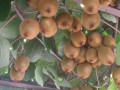 kivi-sadnice-small-0
