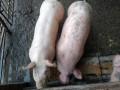 prasici-32-35kg-nazimice-veprici-80-90kg-small-0