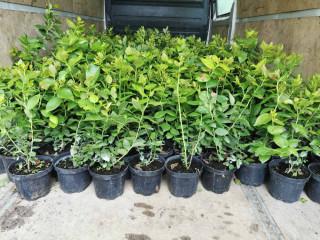Sadnice americke borovnice, lozni kalemovi, vocne sadnice- dostava sadnica na Vasu adresu