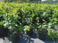 sadnice-americke-borovnice-lozni-kalemovi-vocne-sadnice-dostava-sadnica-na-vasu-adresu-small-0
