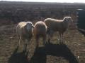 na-prodaju-umaticene-ovce-i-ovnovi-small-0