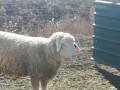 na-prodaju-umaticene-ovce-i-ovnovi-small-1