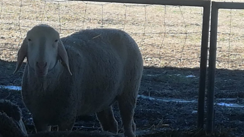 na-prodaju-umaticene-ovce-i-ovnovi-big-3