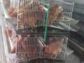 kavezi-za-koke-nosilje-proizvodnja-i-prodaja-kaveza-small-2