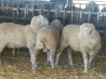 ovce-na-prodaju-small-0