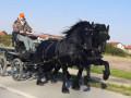 frizijski-konji-small-1