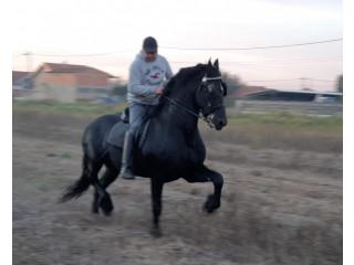 Frizijski konji