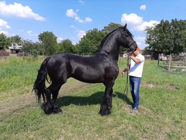 frizijski-konji-big-4