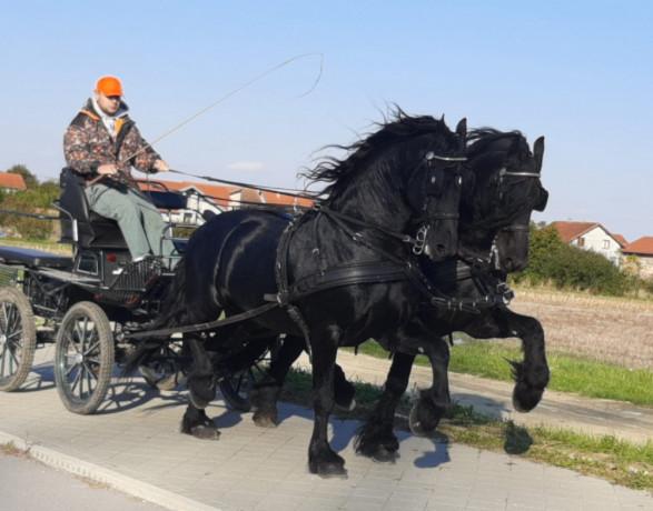frizijski-konji-big-1