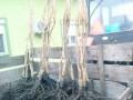 sadnice-voca-i-ukrasnog-bilja-ruski-krsturu-small-2