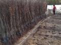 sadnice-voca-i-ukrasnog-bilja-ruski-krsturu-small-1