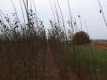 sadnice-voca-i-ukrasnog-bilja-ruski-krsturu-small-0