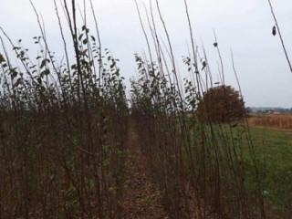 Sadnice voca i ukrasnog bilja-Ruski Krsturu