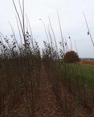 sadnice-voca-i-ukrasnog-bilja-ruski-krsturu-big-0