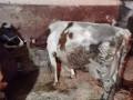 prodajem-krave-small-1