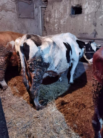 prodajem-krave-big-4