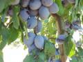 vocne-sadnice-sorte-voca-za-organsku-proizvodnju-small-0