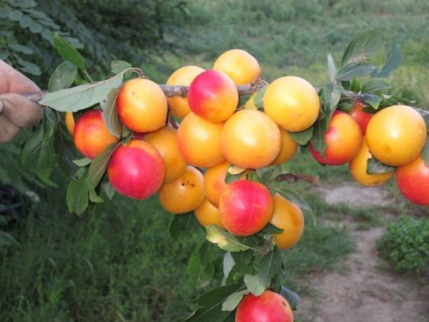 vocne-sadnice-sorte-voca-za-organsku-proizvodnju-big-4