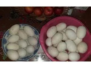 Guščija jaja od domaćih belih gusaka
