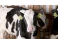 krave-junice-i-telad-na-prodaju-small-4