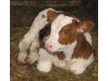 krave-junice-i-telad-na-prodaju-small-2