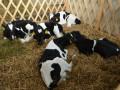 krave-junice-i-telad-na-prodaju-small-1