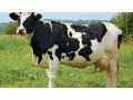 krave-junice-i-telad-na-prodaju-small-3