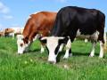 krave-junice-i-telad-na-prodaju-small-0