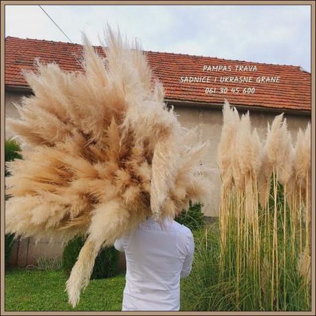 pampast-trava-direktna-proizvodnja-big-3